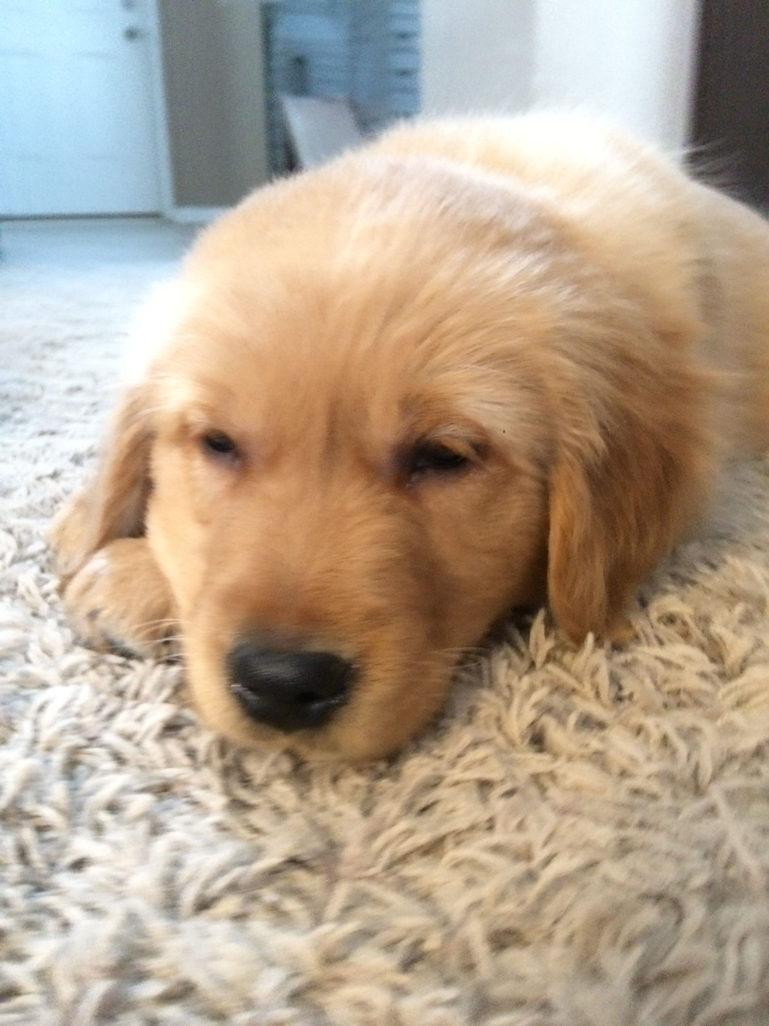 He Makes The Cutest Noises Ever Puppy Care Golden Retriever