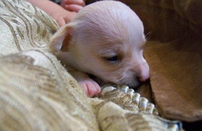 Columbus Ohio Chihuahua Puppies For Rehoming Chihuahua Puppies