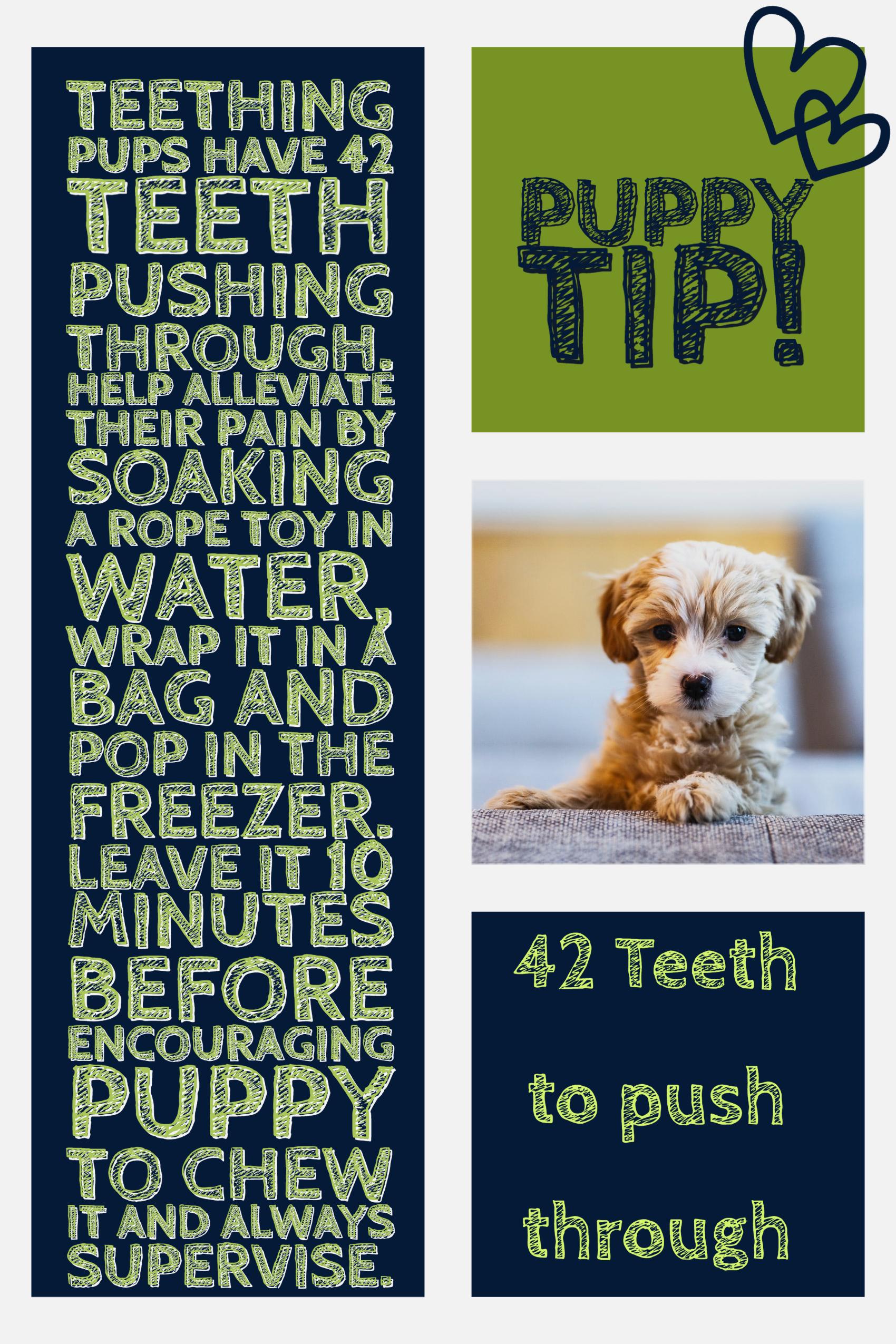 Teething Puppy Welpen