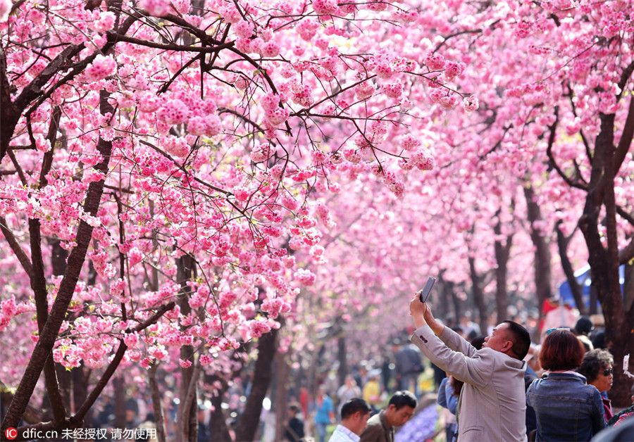 Cherry Blossom Season Came To Kunming S Yuantongshan Park Last Week Turning The Site Into A Fanciful Pink World Http Www Chinatraveltourismnews Com 2016 03