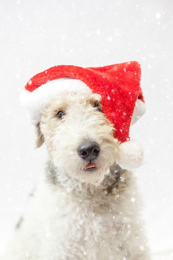 f81fc06efa3 Christmas Wire Fox Terrier ©Pawsh Magazine