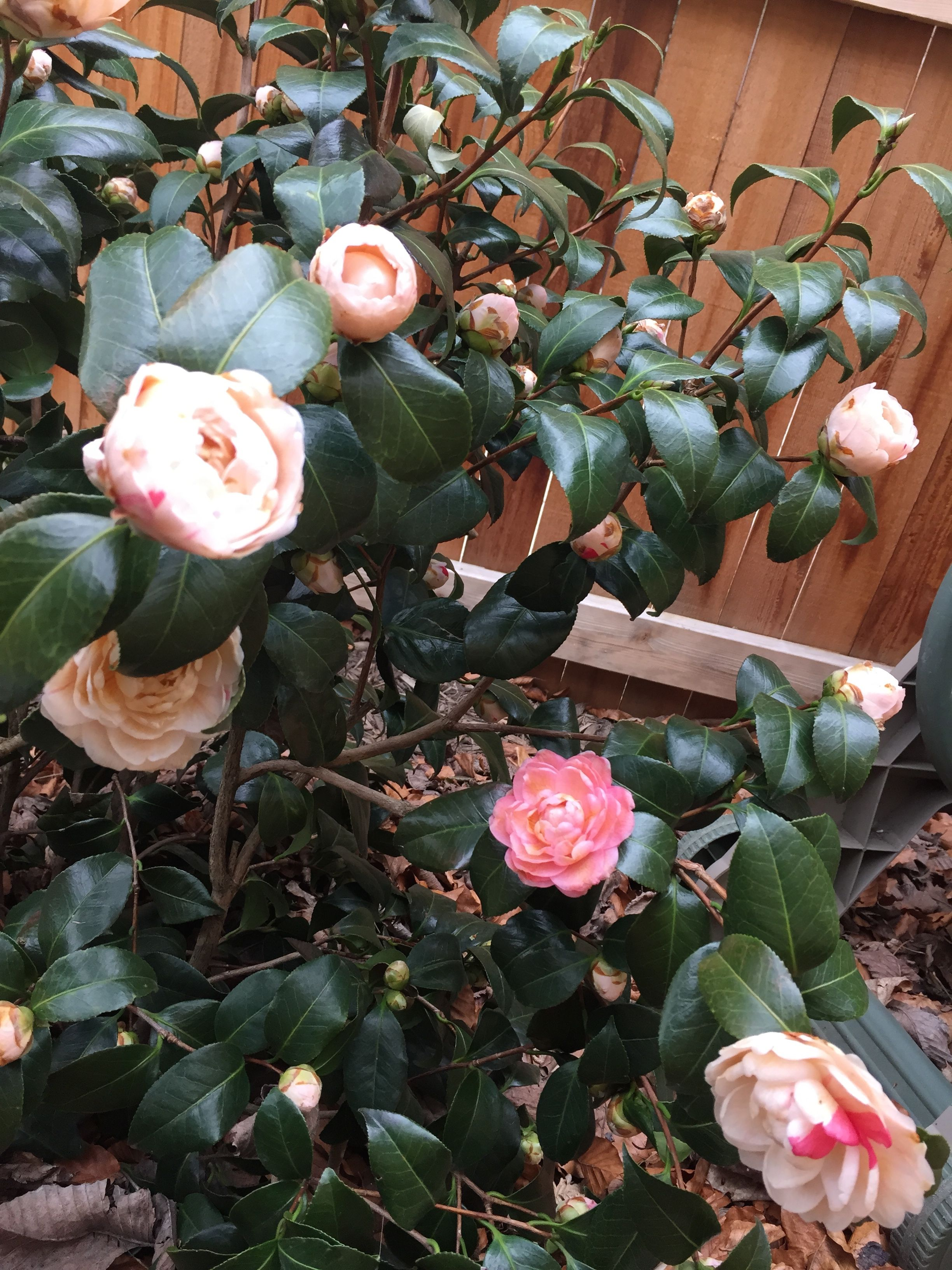 April Dawn Camellia It Survived The Dc Winter Edible Landscaping Landscape Plan Trees And Shrubs
