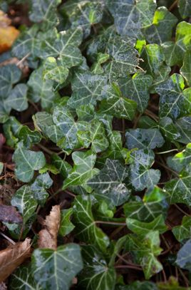 I Hedera Helix Roeterseiland Pinterest Gardens And Houseplants
