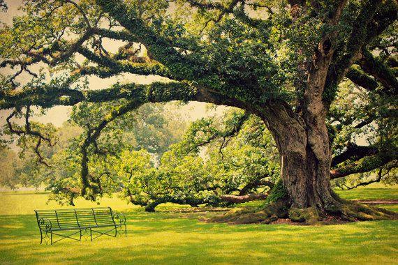 Live Oak Tree Photo, Oak Alley Plantation, Louisiana Photograph ...