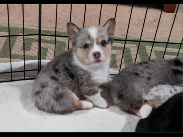 Dogs Puppies For Sale In Omaha Nebraska In 2020 Dogs For Sale Puppies For Sale Dogs