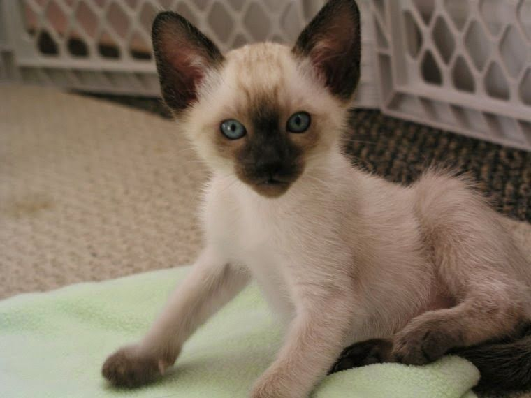 Breeders of Siamese kittens available for sale. Siamese