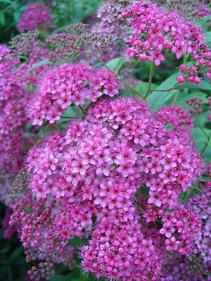 Japanese Meadowsweet Spiraea Japonica Flowering Shrub Seeds
