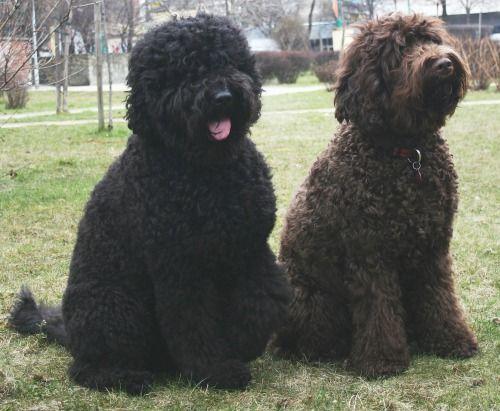 O Babet também é conhecido como o cão de água francês e