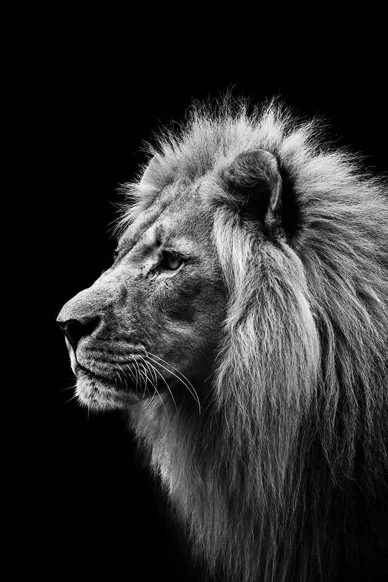 Black And White Lion Face | www.pixshark.com - Images ...
