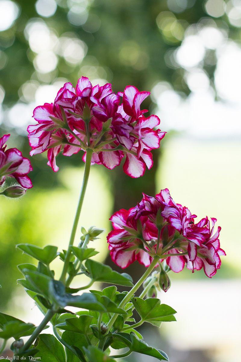 plantes et fleurs pour jardin balcon