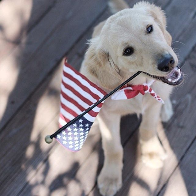4th of July Pup