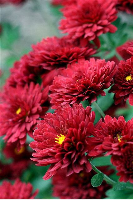 Red Flowers Fall Flowers Red Flowers Beautiful Flowers