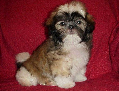Toy Mi Ki For Sale Mi Ki Toy Puppies For Sale In Texas Rare Mi