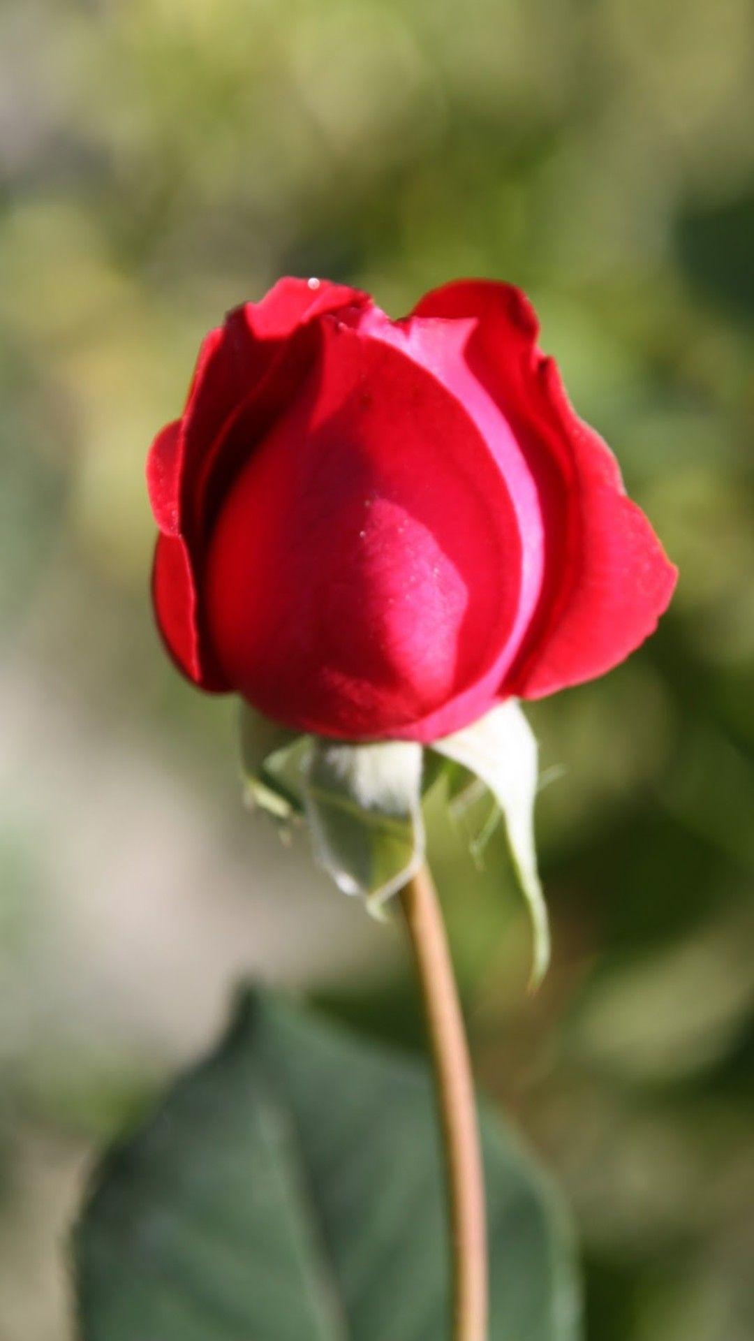 Single Rose Beautiful Roses Flower Photography Tulips Fragrance Flowers Perfume Tulip