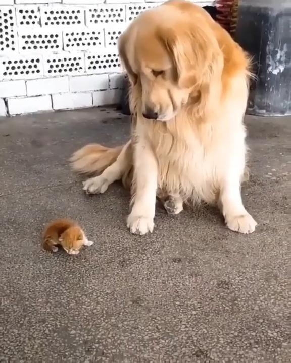 Dogs love the little kitten