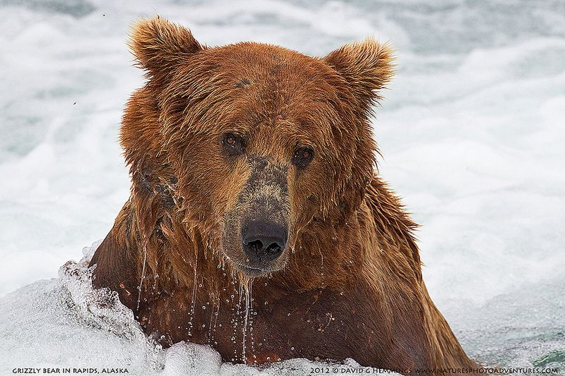 Grizzly Bear in the river rapids looking for salmon
