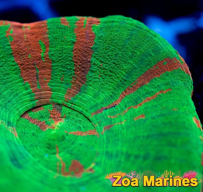 Medium 2 5 Inch Bleeding Apple Scolymia Stunning Corals Http Www Zoamarines Co Uk Marinetank Reefkeeping Saltwater Tank Saltwater Aquarium Marine Tank
