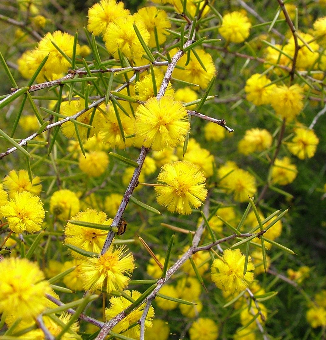 Growing Australian Native Plants: Acacia Brownii (Prickly Moses) Is A Small Open Sprawling