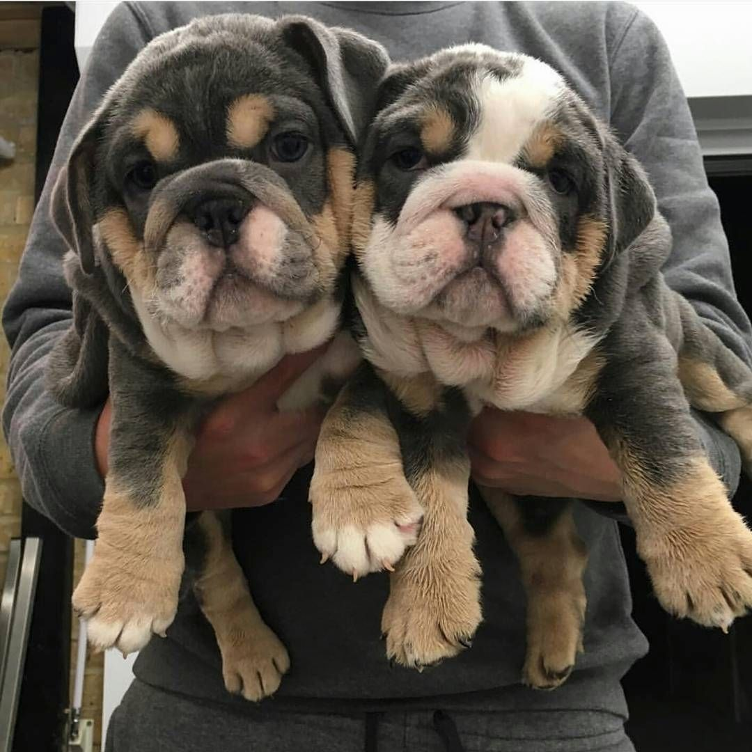 English Bulldog Stories On Instagram Credit To Rarebullies