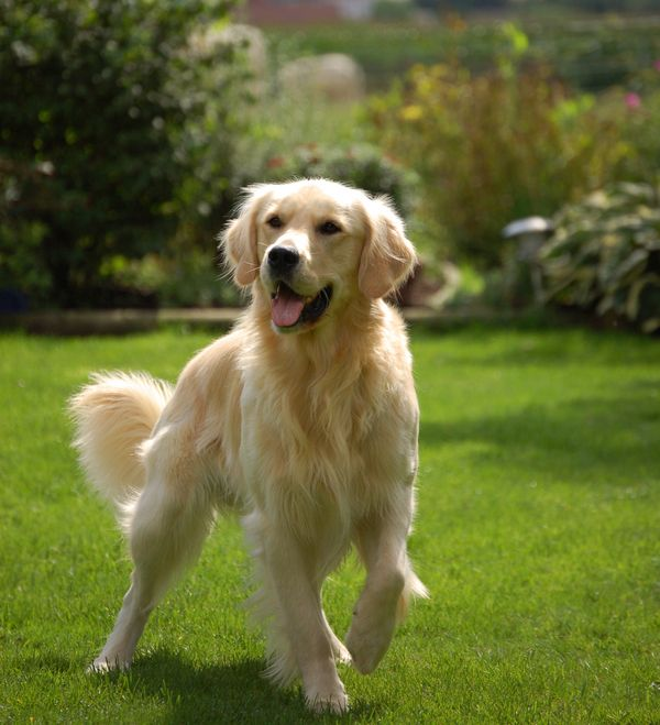 What Is Your Dog Personality Dogs Golden Retriever Popular Dog