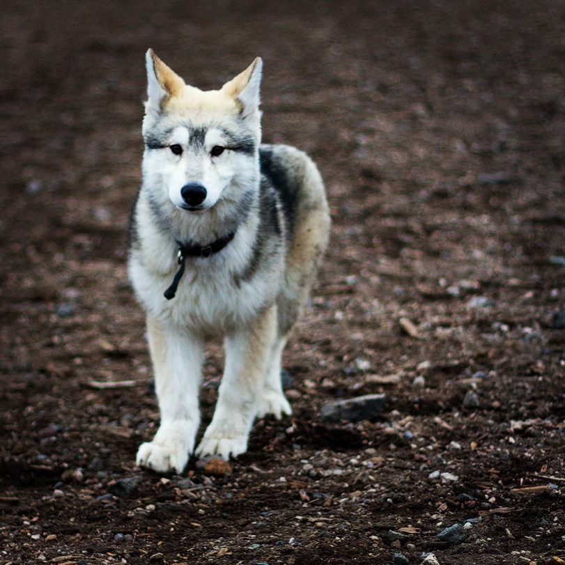 Pin By Sarah Roberts On Creatures Wolf Dog Wolf Husky Husky