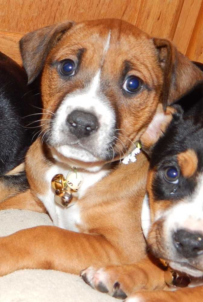 Beagle dog for Adoption in Fayette, MO. ADN417057 on