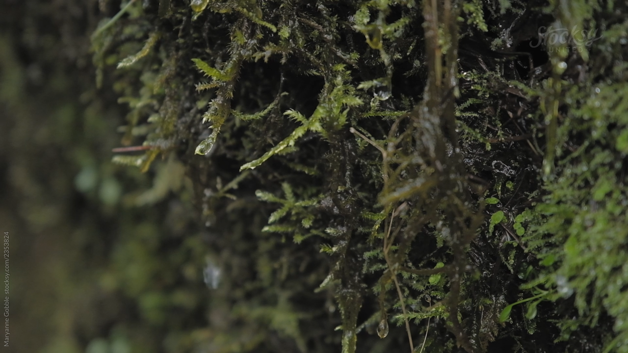 A closeup of water dripping from moss in an Oregon forest.  #nature #moss #oregon