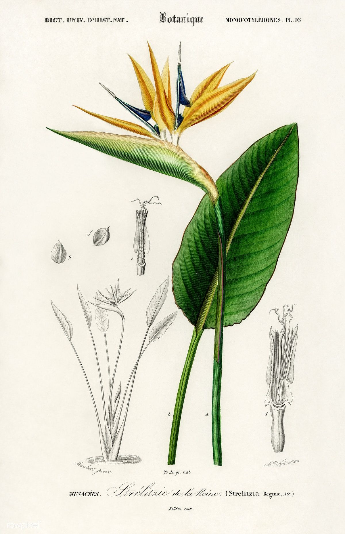 Bird Of Paradise Strelitzia Reginae Illustrated By Charles Dessalines D Orbigny 1806 18 Birds Of Paradise Flower Antique Botanical Print Botanical Drawings