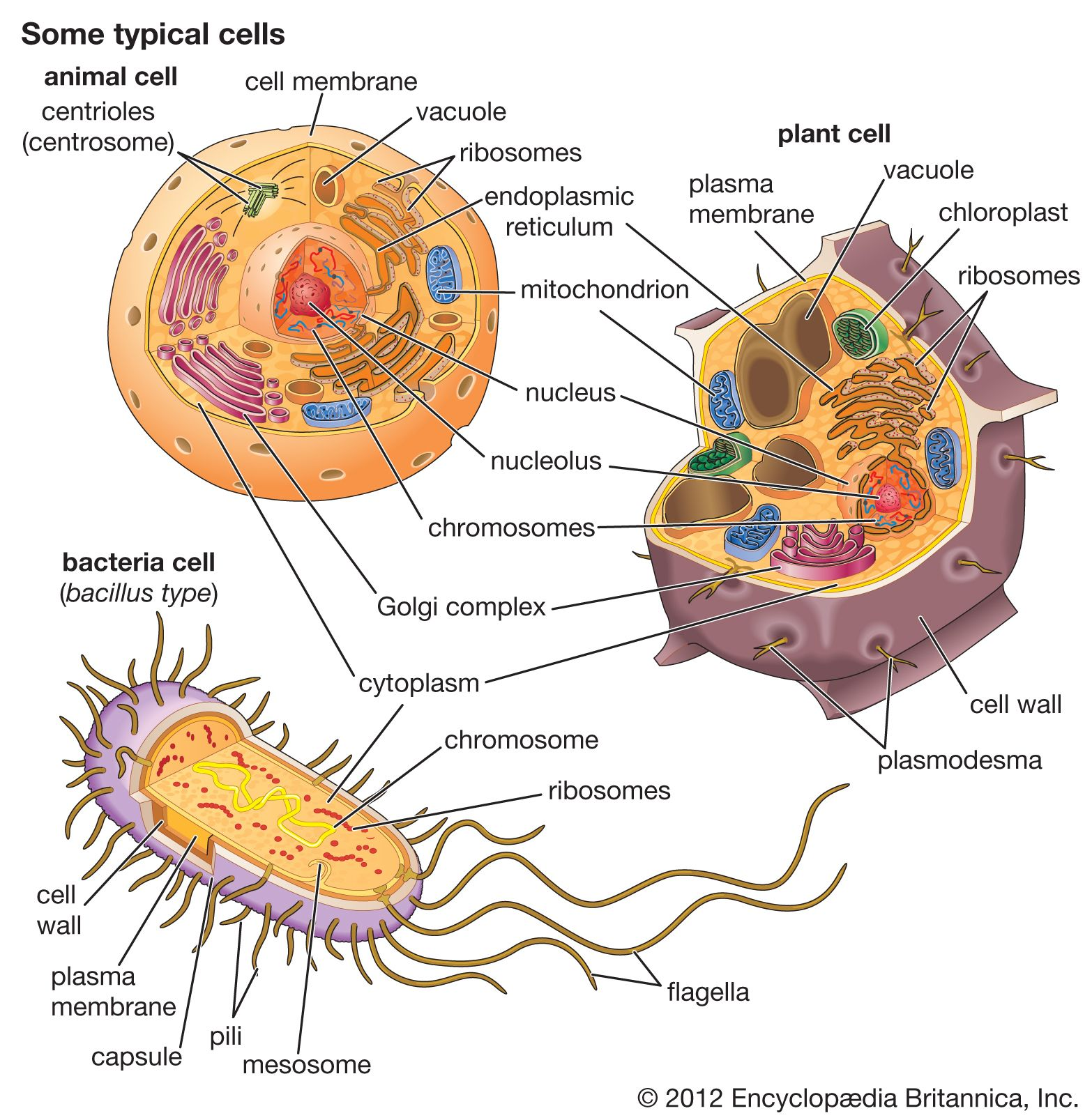 Cell My Computer Pinterest Plant Biology And Structure Animal Diagram Worksheet Also Cells Contain Membrane Bound Organelles Including A Distinct Nucleus In Contrast Bacterial Do Not