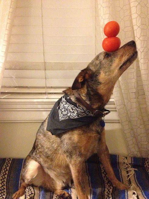 Jack the Dog Balances Light Bulbs, Eggs, Books, and More on His Head