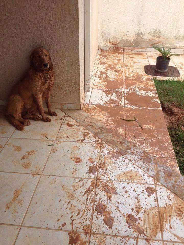 Not guilty? :D  #muddy #dog #golderetriever #guilty