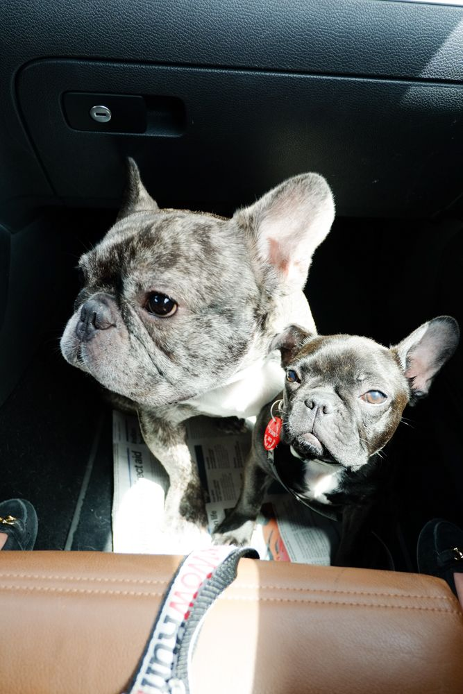 Mabel the French Bulldog and her best bud! Best Buds
