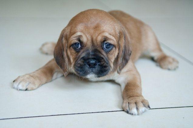 Pug And Cavalier Pugalier Pug Mixed Breeds Mutt Dog Cute Animals