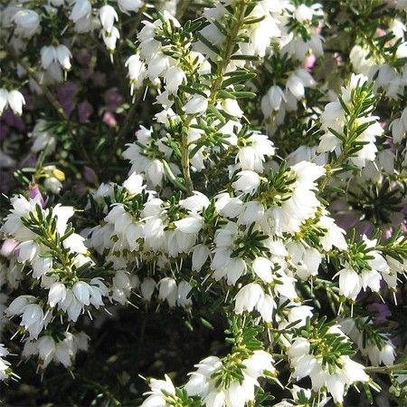 Bruyère d'hiver 'White Perfection' | Fleur hiver, Jardin d ...