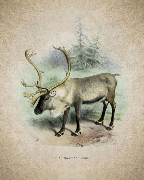 Reindeer Art Print Deer Illustration Hunter Gift Reindeer Scandinavian Reindeer Home Decor Deer Illustration Art Prints Art