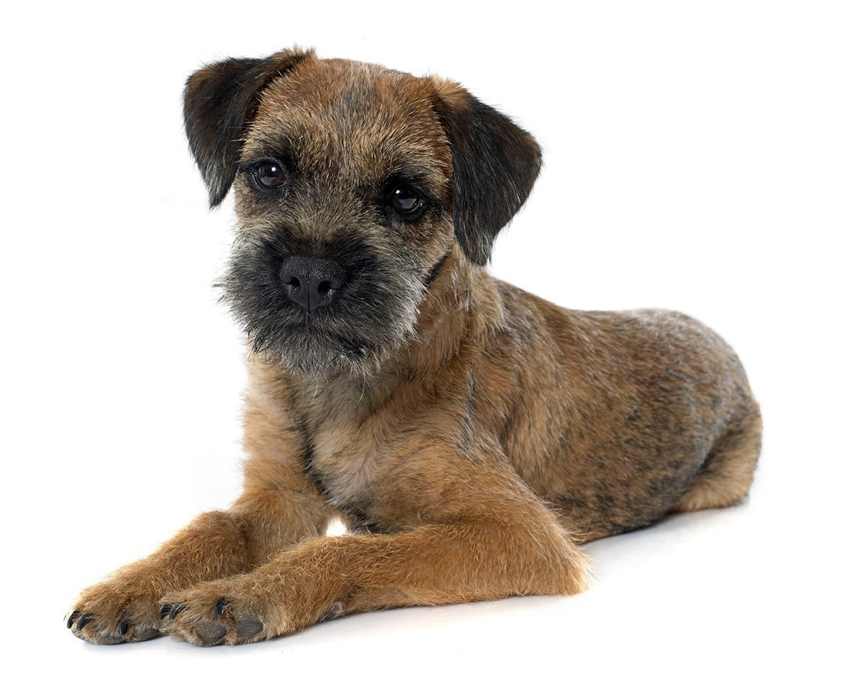Pin On Terrier Dogs