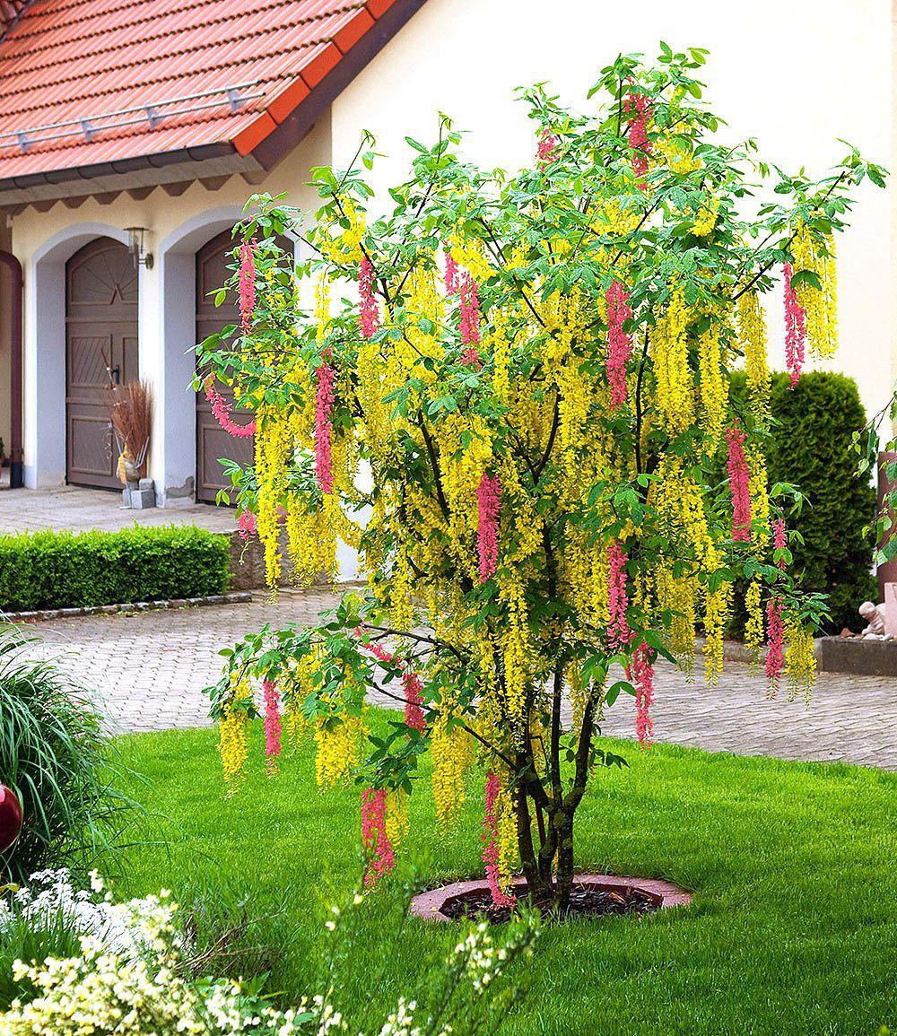 Chimaren Goldregen 1 Pflanze Pflanzen Coole Pflanzen Gartengestaltung