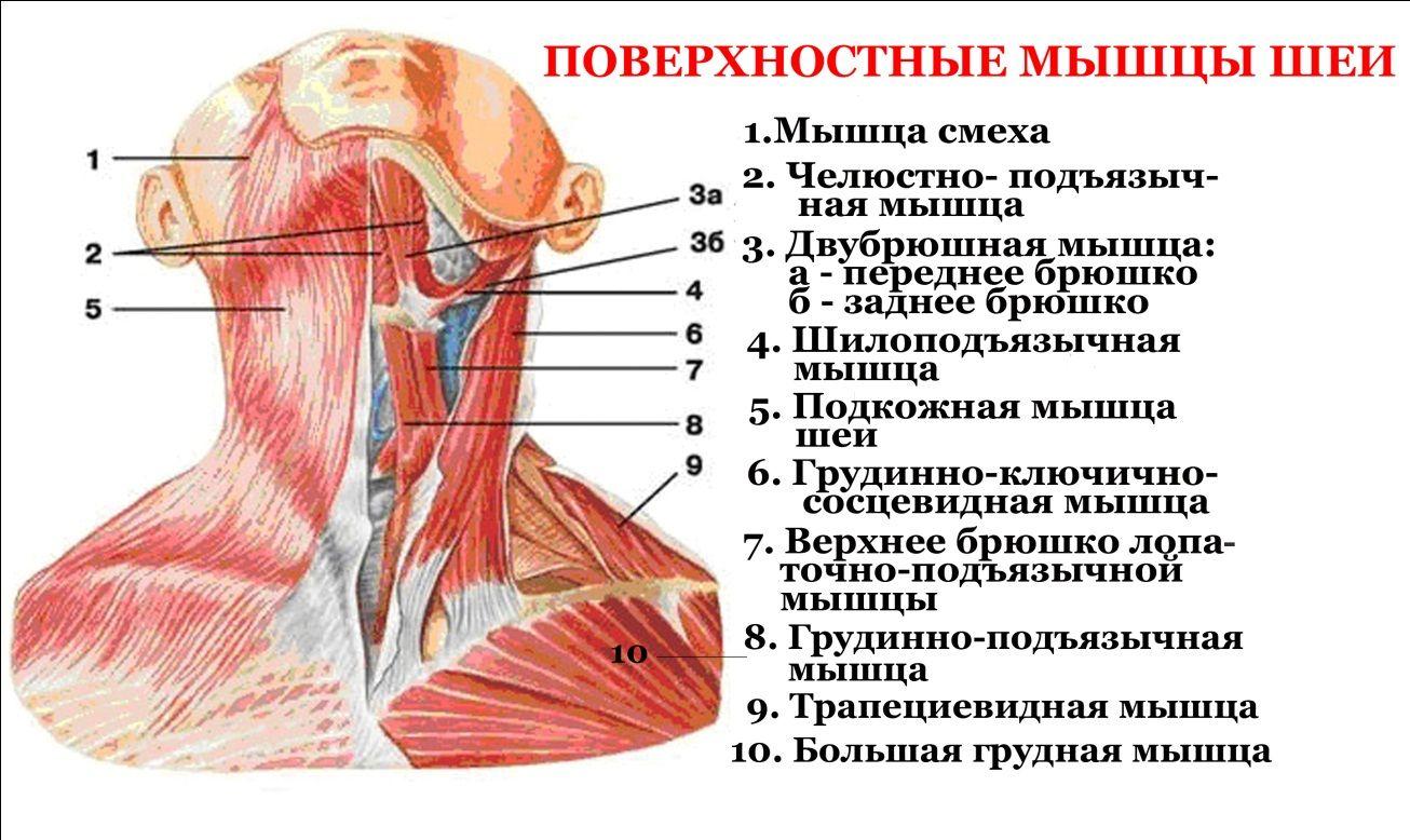 Спать картинки, анатомия шеи человека в картинках с описанием органов