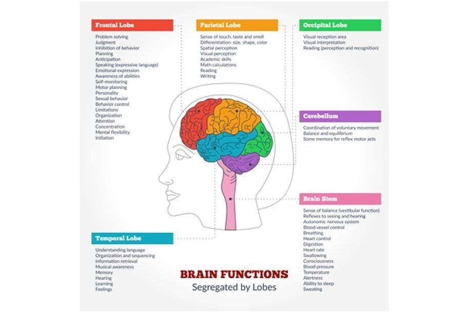 Human Brain Anatomy And Functions In 2020 Brain Anatomy And Function Human Brain Anatomy Brain Anatomy
