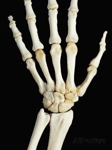 Image Result For Bones Of The Hand Human Bones Pinterest