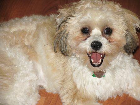 Pin By Mina Okanovic On Pappy Pets Shih Tzu Pet Adoption
