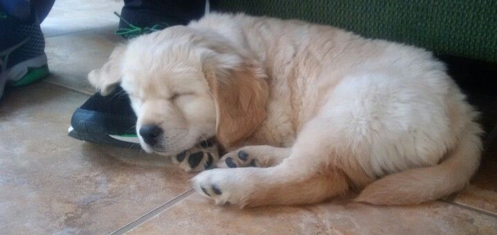 Long Haired Yellow Labrador Retriever Puppy Must Be Nice To Sleep Anywhere Puppy Pictures Puppies Golden Retriever