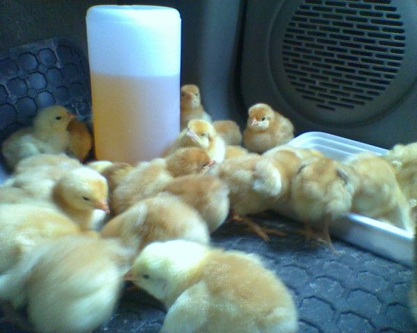 baby chickens in a car!