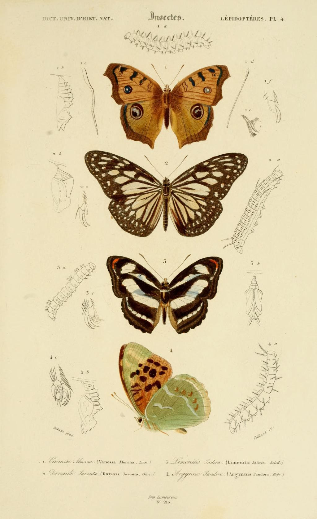 gravures couleur d 39 insectes dessin insectes 0181 papillon argynne pandore argynnis pandora. Black Bedroom Furniture Sets. Home Design Ideas