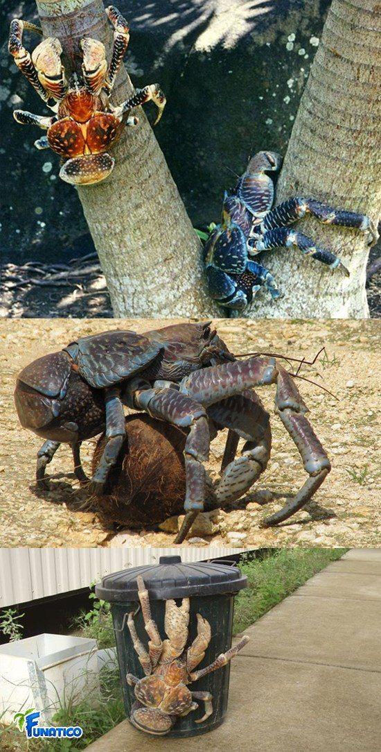 giant coconut crab facts - photo #4