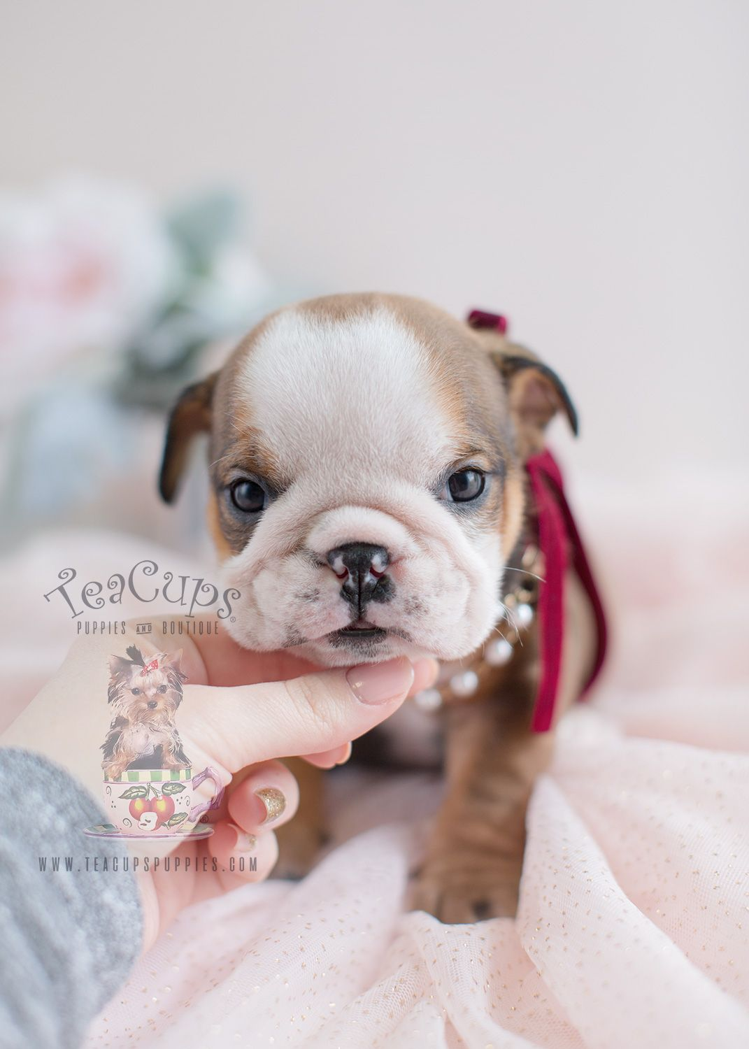 English Bulldog Puppy For Sale Teacup Puppies 017 Bulldog