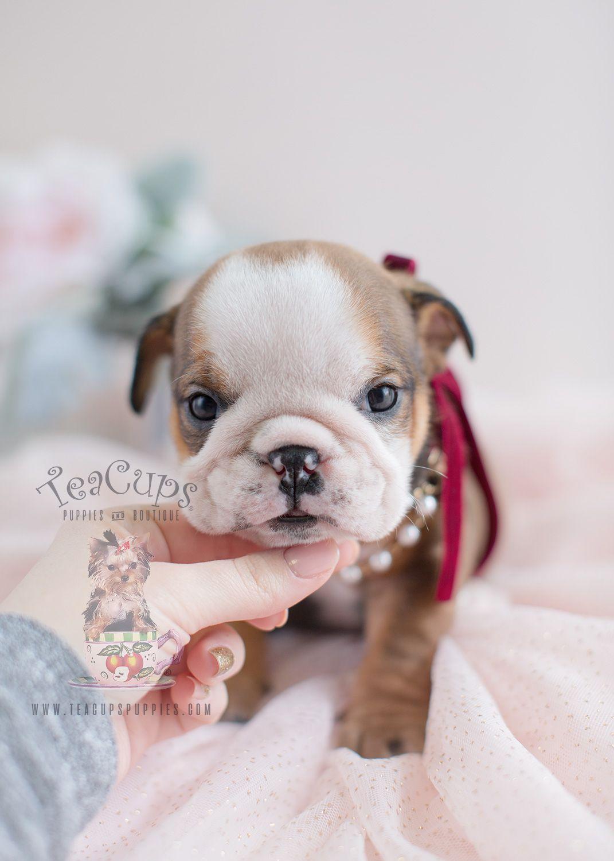 english-bulldog-puppy-for-sale-teacup-puppies-017   bulldog