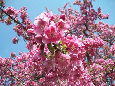 Name Those Blooms Identify The Most Common Midwest Spring Flowering Trees Shrubs Flowering Trees Flower Landscape Spring Flowering Trees