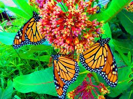 Resultado de imagen de hada mariposa monarca