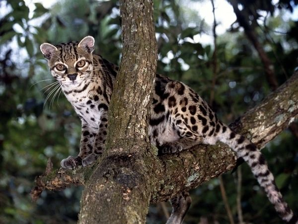 And glamorous… | I Think It's Time We Talk About The Margay